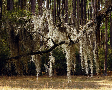 ....where the moss drips lazily from old oak trees like a long, drawn-out southern drawl....