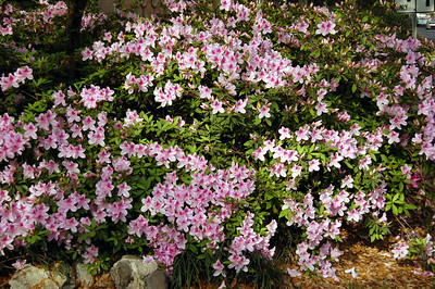 ....and did we mention that the azaleas were in full bloom?