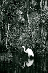 In this duotone, an egret searches for food in the waterways of the Everglades.