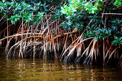The red-white-and-blue roots of the mangrove help stabilize the shorelines of waterways through the Everglades.The Everglades contain the greatest mangrove forest in North America.