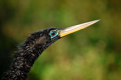 The predominantly black-and-white anhinga has amazingly bright coloring around its large eyes.