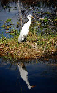In Everglades National Park, over 350 different species of birds have been sighted, including 16 different species of wading birds.  Some, such as this heron, seem to enjoy posing for the camera....
