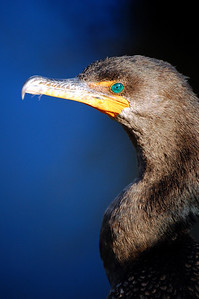 The beauty of a cormorant may be largely in its turquoise-colored eyes.