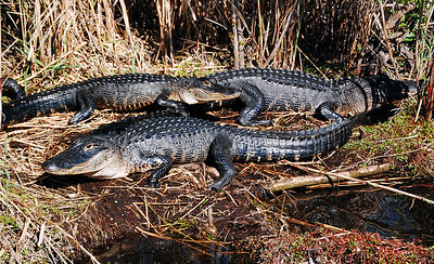 With feet and snout alligators clear out the vegetation and muck, creating a place to congregate in the sun.