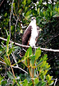 An osprey keeps watch from its perch.