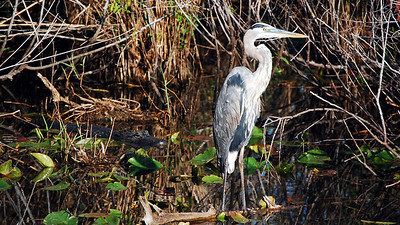 "The Everglades is a ""harmony of wildlife.""  This blue heron seems unconcerned over the approaching alligator behind it."