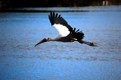 "Nicknamed ""old flint-head,"" a wood stork glides in for a landing at the Mrazek Pond in the Everglades."