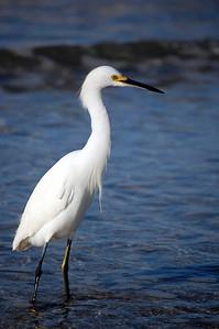 A snowy egret.