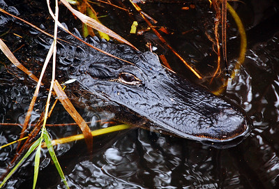 An American alligator moves silently through the marsh reeds of the Everglades.
