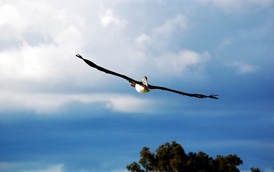 The outstretched wings of a brown pelican as its soars above the Everglades.