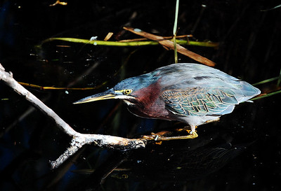 The small, stocky green heron doesn't seek the limelight like its larger cousin (the blue heron), preferring to lay low in the brown water-plants.