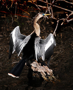 The trail is named for the anhinga bird.  After diving beneath the water in search of food, the anhinga will perch for long periods with its wings spread to dry.