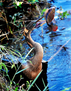 When it spears its prey underwater, the anhinga returns to the shoreline and confronts the sometimes-difficult task of freeing its food from its beak.  Shaking works most of the time, but sometimes the bird will scrape its beak against a rock or tree branch to pry the fish loose.