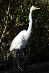 A great white heron in the Everlades.