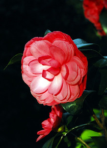 A camillia blossom captures the final rays of the late evening sun.
