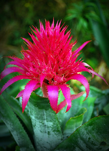 The vivid red of this bromeliad stood out against its green leaves.