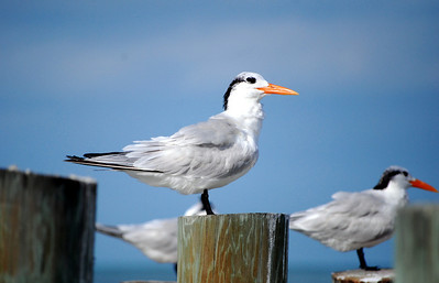 ...photographing this tern keeping a close watch as we passed by.