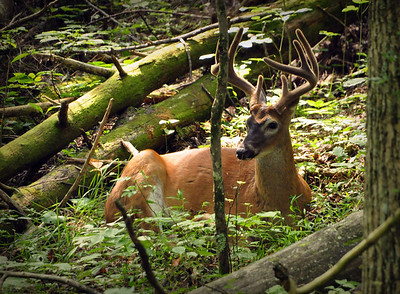 "Continuing into Cades Cove, we came upon this ""spectator"" in the dense forest, seemingly unperturbed by our presence."