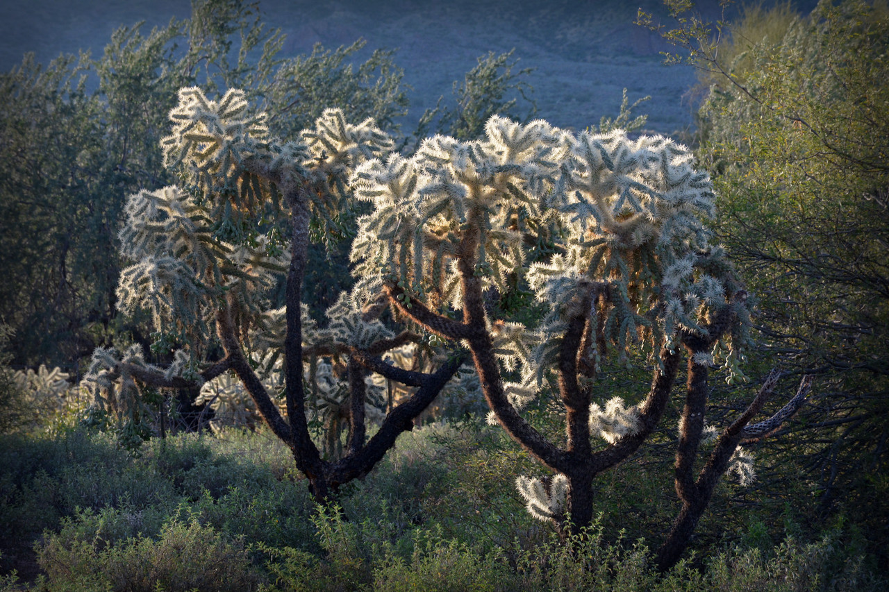 ...and backlighting seems to bring out the best of the Teddy-Bear Cholla.