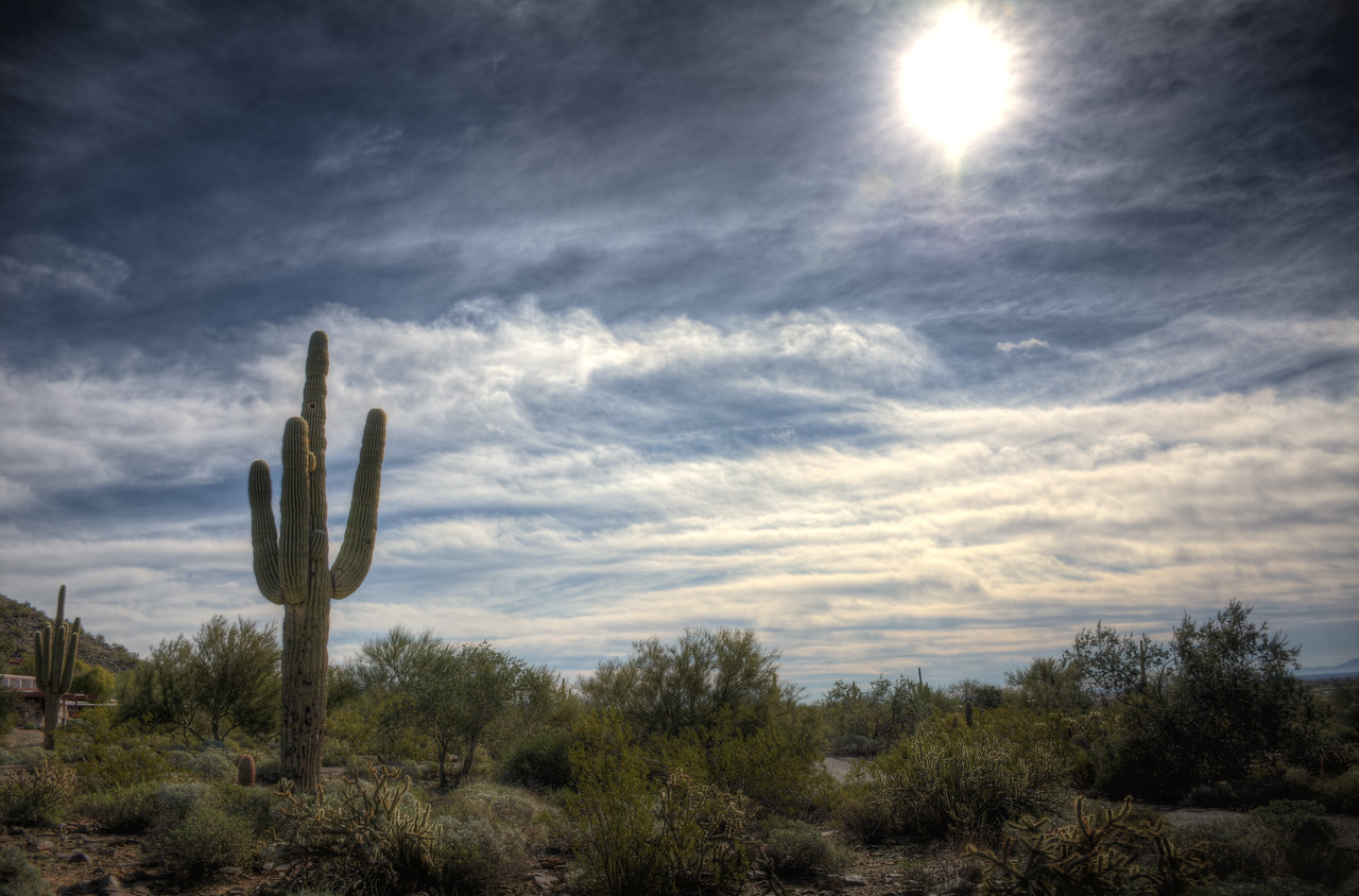 Arizona's icon - the Saguaro cactus, the largest cactus species in the U.S.  They can grow more than 40 feet tall.