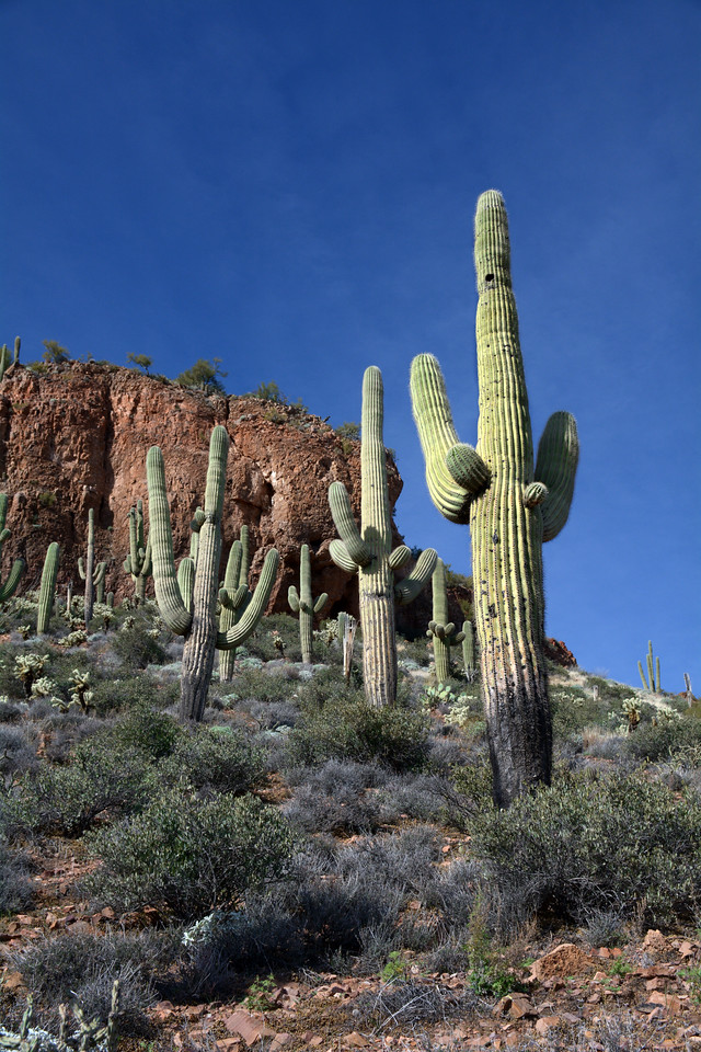 Near the end of the Apache Trail is the Tonto National Monument, a wilderness area of desert plants including literally thousands of saguaro cacti.
