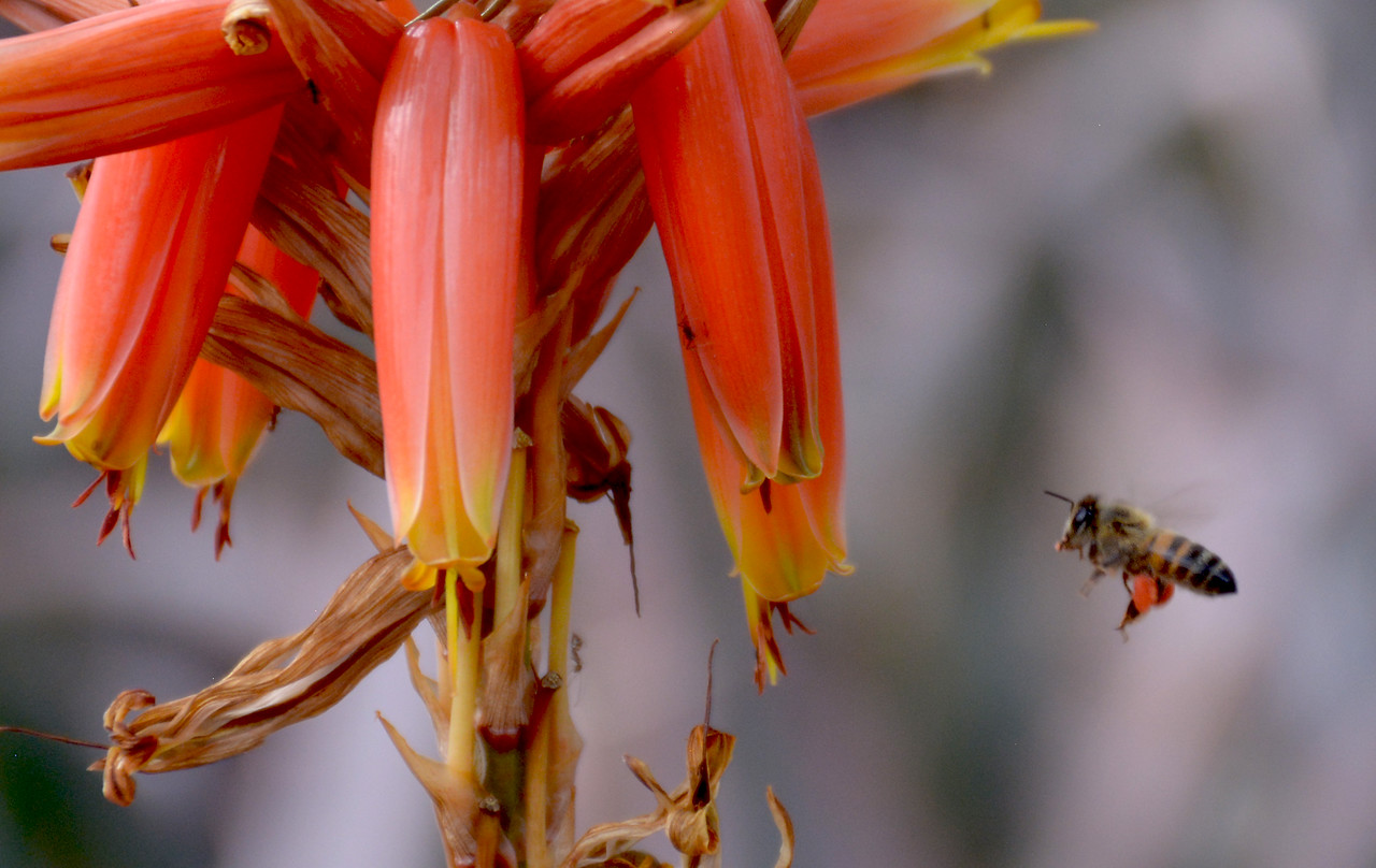 Its legs laden with pollen, a bee takes aim at the tubular flower of an ocotillo plant.