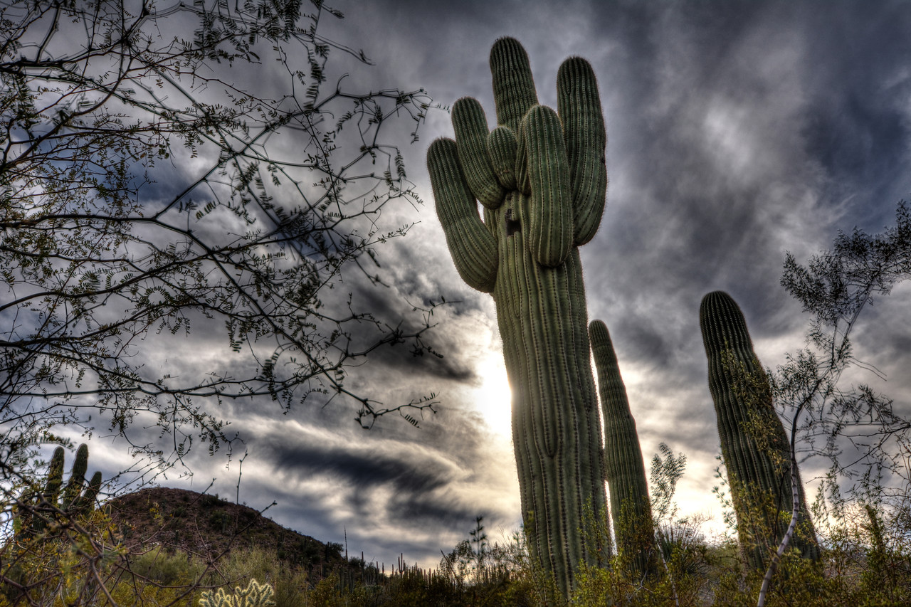 A typical Saguaro can live between 100-200 years and weigh more than a ton.