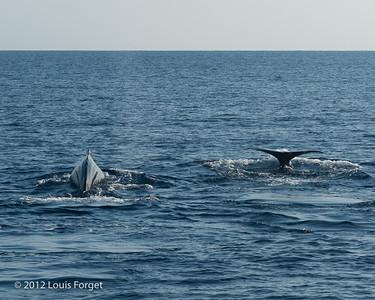 Sperm Whales near Roseau