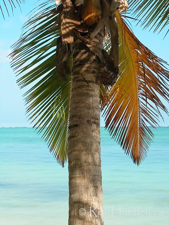 Palm Tree at Punta Cana, Dominican Republic. © Rob Huntley