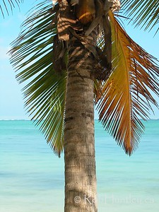 Palm Tree at Punta Cana, Dominican Republic.