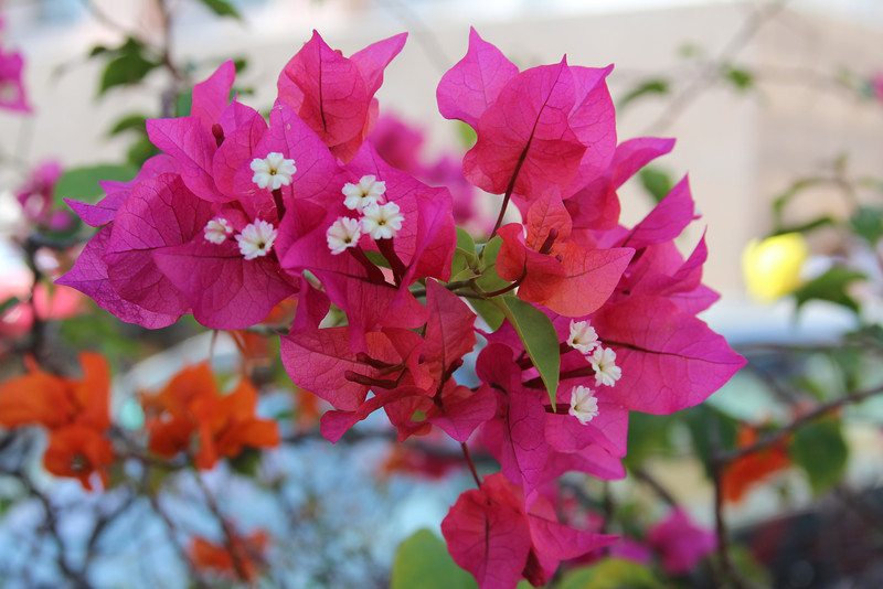 Flowers pink DR