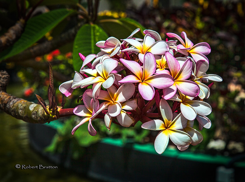 Pink Fragipani Flowers