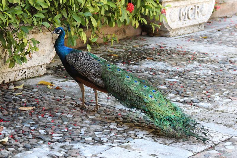 Dominican Republic Peacock