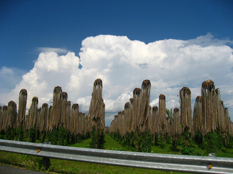 There were miles of fields of dead palm trees. It looked like they had been wiped out by Kudzu (a vine that's also common in the southern United States), but we weren't sure. It was a very powerful sight...