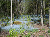 Waves of blue- Forget-me-nots in Peninsula State Park, Door County, WI.