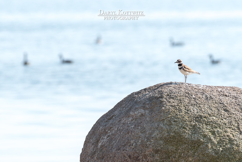 The Killdeer's Profile