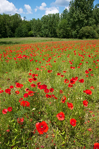 Poppies of France:  red and popping.