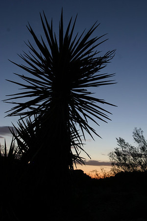 A sunrise yucca en route to 49 palms oasis, Joshua Tree National Park, CA.