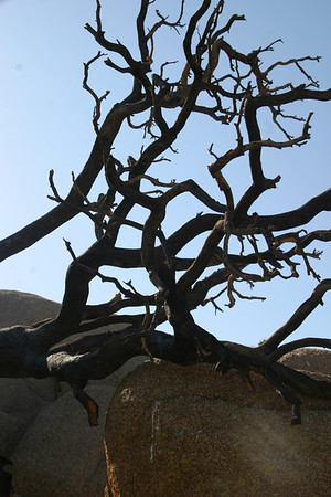 Another day, another dead tree.  Joshua Tree National Park.