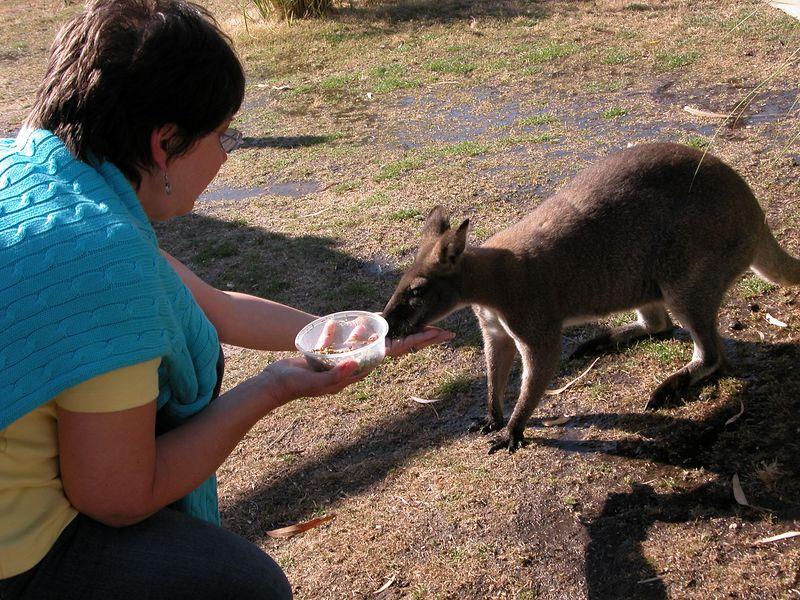 Judy feeding a Wallaby