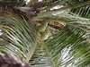 Coconuts grew everywhere.  The groundskeepers would cut them down for the guests to have the milk and eat the fruit.