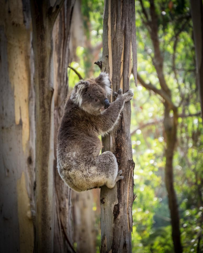 Koala Bear Near Erskine Falls