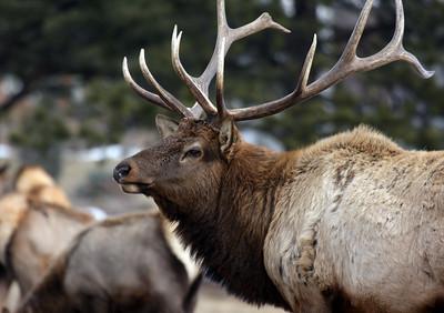 Bull elk on the Stanley Hotel lawn.