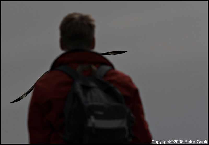Oh, shit, the Skua is gonna get me!<br /> At Ingólfshöfði headland on June 10.