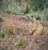. . . Prairie Dogs . . .