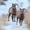 Immature Rocky Mountain Bighorn rams, Torrey Creek Canyon, DuBois, WY, 11/24/2014.