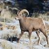 Immature Rocky Mountain Bighorn ram, Torrey Creek Canyon, DuBois, WY, 11/24/2014.