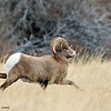 Immature Rocky Mountain Bighorn ram, Torrey Creek Canyon, DuBois, WY, 11/25/2014.