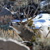 Mule Deer buck, Torrey Creek Canyon, DuBois, WY, 11/24/2014.