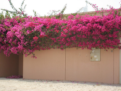 Glorious bouganvillea in Jumeirah.